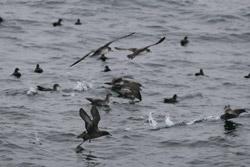 photo of Albatross