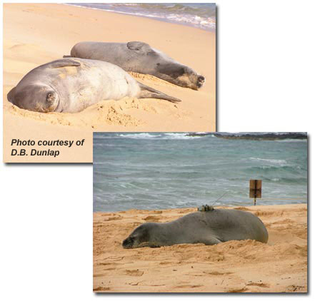 Monk Seals resting on the sand